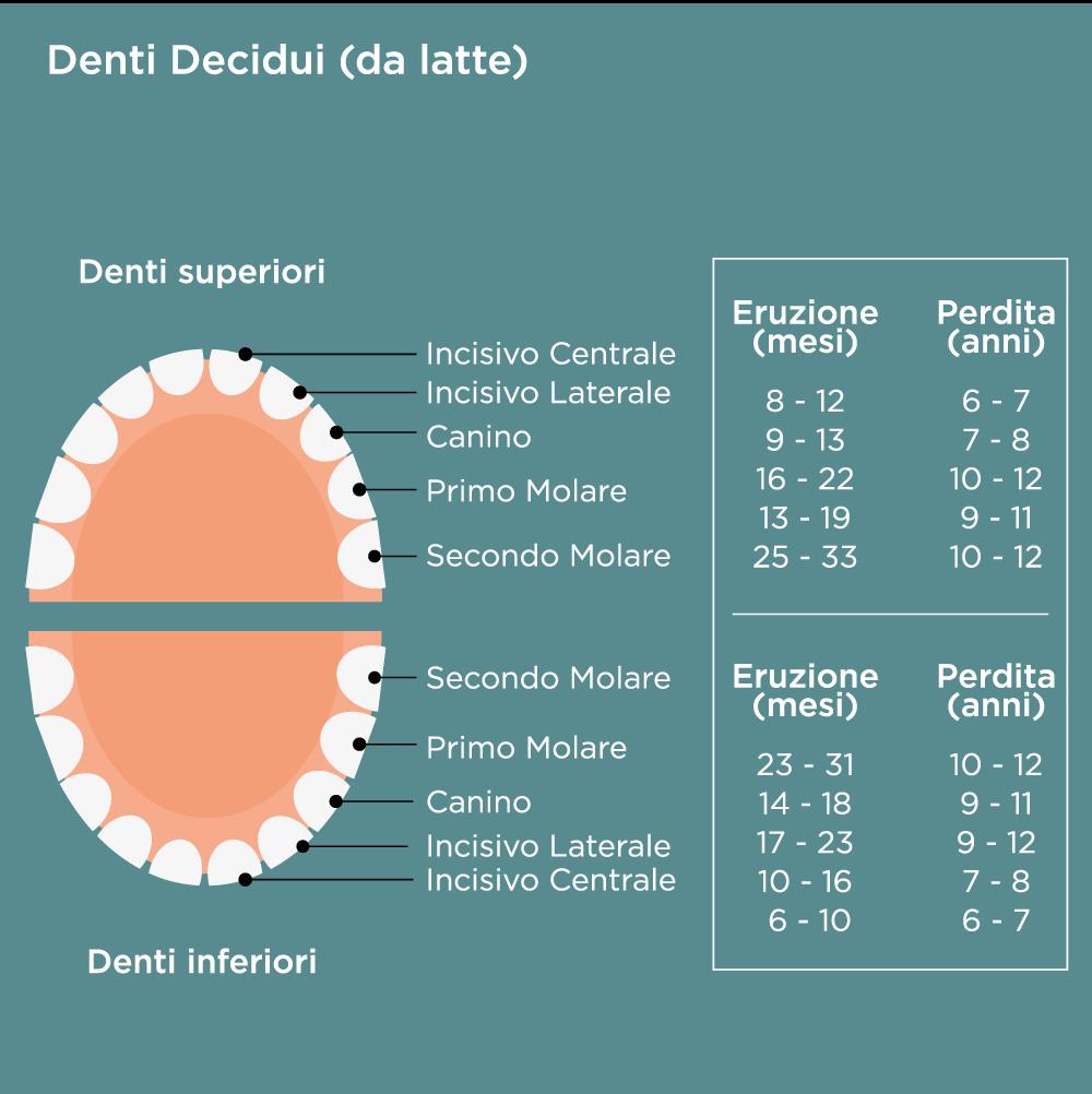 Periodo di eruzione e perdita dei denti da latte (decidui)